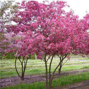 Посадка декоративных яблонь: особенности