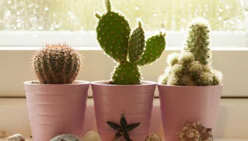 Как ухаживать за кактусом в домашних условиях,