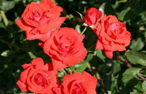 Особенности роз Кордеса: фото,  характеристики,