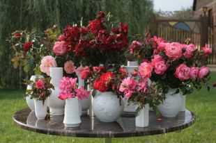 Нужно помнить, что розы цветут на перезимовавших побегах, поэтому у них обрезают только макушку, длину следует сохранить