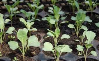 Когда сажать белокочанную капусту на рассаду: