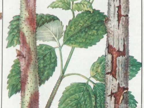 Болезни и вредители малины, лечение: как бороться