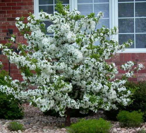 Карликовые яблони: виды, особенности выращивания,