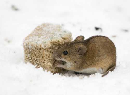 Избавляемся от мышей в дома и на даче, что
